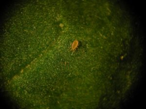 ABS-system Amblyseius cucumeri