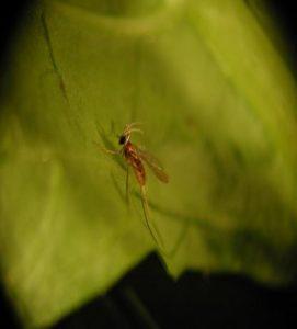 Aphidoletes-System Aphidoletes aphidimyza