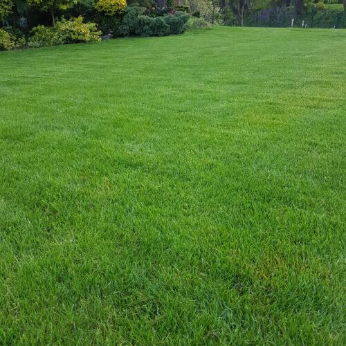 bluestim-trawnik